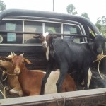 Goats Donated by the Ugandan Government Agricultural Support Progam (NAADS)